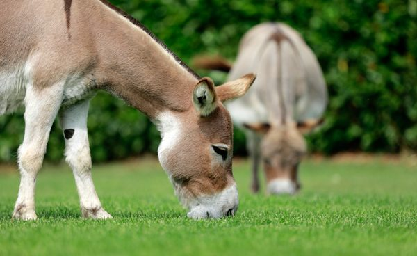 Little donkeys with the best bloodlines
