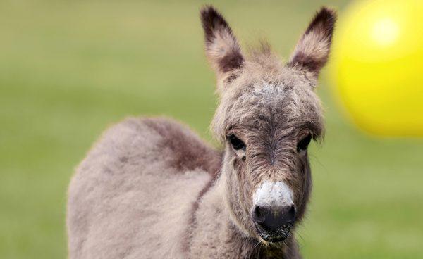 First miniature donkey