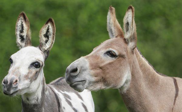 more miniature donkeys to follow